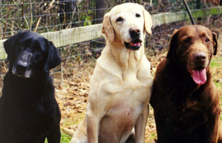The Genetics of Color in Labradors