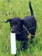 Lab pup carrying a dummy, wearing electric collar.