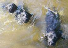 Three puppies swimming